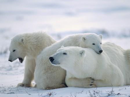 Полярные медведи помогли ученым раскрыть тайну ожирения - фото